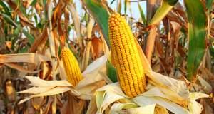 Toξικές τροφές λόγω κλιματικής αλλαγής