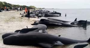 Πάνω από 400 φάλαινες βγήκαν σε ακτή της Νέας Ζηλανδίας [Βίντεο]