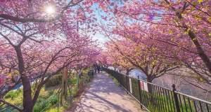Η άνοιξη έφτασε στην Ιαπωνία με τις ανθισμένες κερασιές [ΒΙΝΤΕΟ]