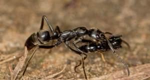 Μυρμήγκια μεταφέρουν μετά τη μάχη τους τραυματισμένους «στρατιώτες» τους πίσω στη βάση [ΒΙΝΤΕΟ]