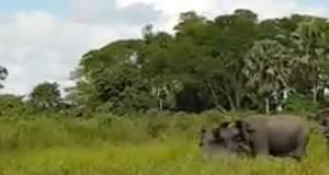 Κροκόδειλος επιτίθεται σε ελεφαντάκι, αλλά δεν υπολόγισε τον μπαμπά του [ΒΙΝΤΕΟ]