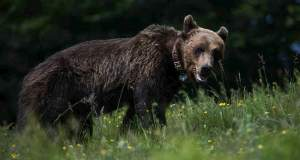 Ασυγκράτητος ο αρκούδος όταν μύρισε θηλυκά
