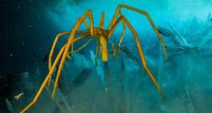 Θαλάσσια αράχνη αναπνέει από τα πόδια της [ΒΙΝΤΕΟ]