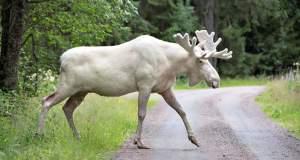Σπάνια εμφάνιση λευκού ελαφιού στα δάση της Σουηδίας! [ΒΙΝΤΕΟ]