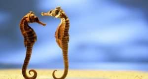 Αρσενικός ιππόκαμπος γεννά χιλιάδες μικρά [ΒΙΝΤΕΟ]