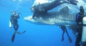 Δύτες απελευθερώνουν τεράστιο φαλαινοκαρχαρία [BINTEO]
