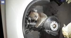 Κοάλα ταξίδεψε 16 χλμ. κρεμασμένο στον άξονα αυτοκινήτου [BINTEO]