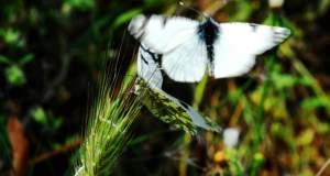 Νέο είδος εντόμου ανακαλύφθηκε στην Κοιλάδα των Πεταλούδων
