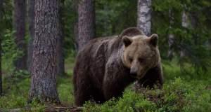 Νεκρή βρέθηκε νεαρή αρκούδα από κυνηγητικό όπλο