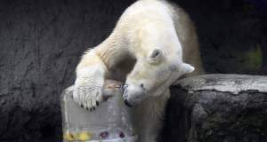 Πέθανε η γηραιότερη λευκή αρκούδα της Ρωσίας