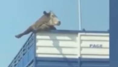 Αγελάδα επιχείρησε να δραπετεύσει από φορτηγό [ΒΙΝΤΕΟ]