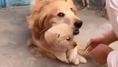 Η πιο υπερπροστατευτική σκυλίτσα στον κόσμο [ΒΙΝΤΕΟ]